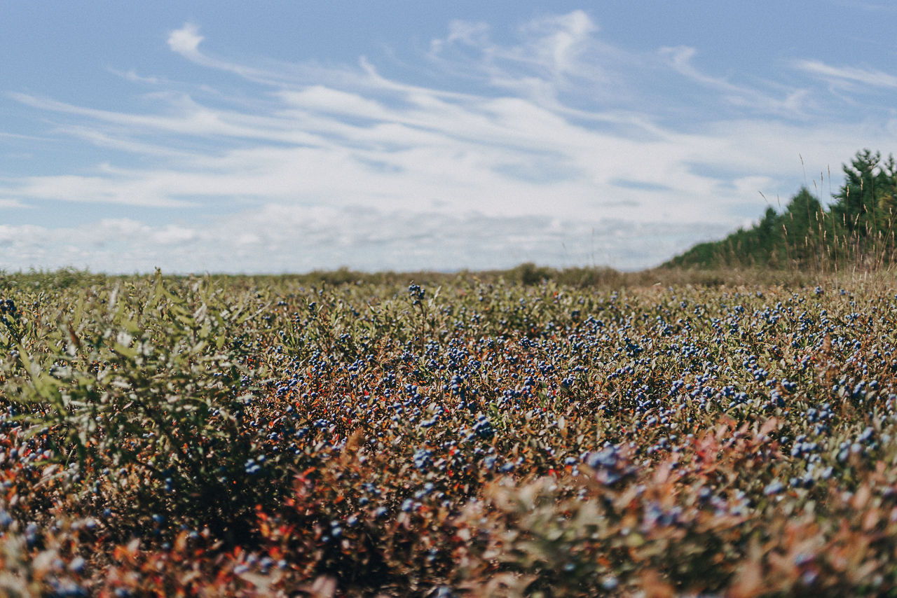 blueberries, organic, field, champs, bleuets, bio